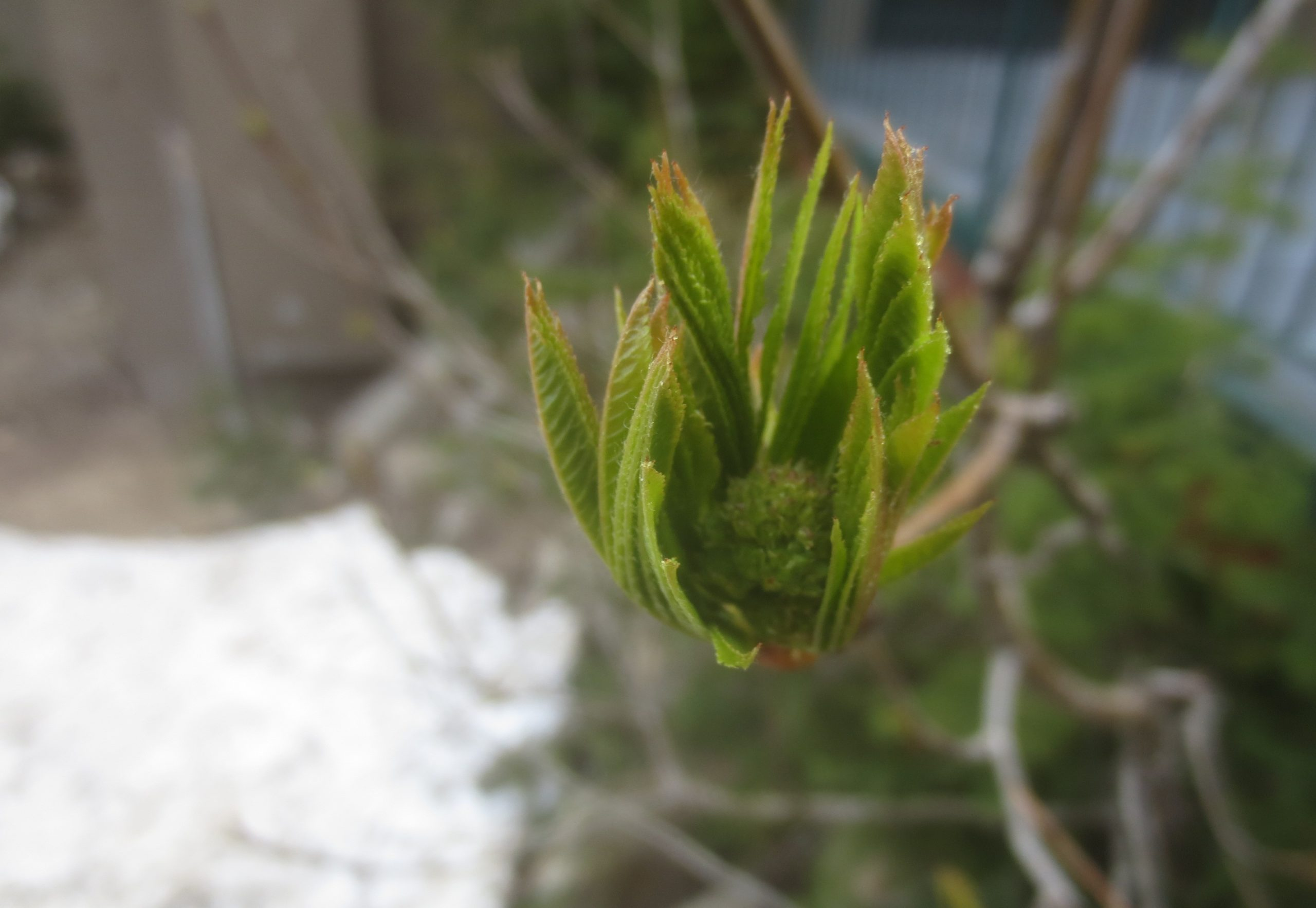 budding tree