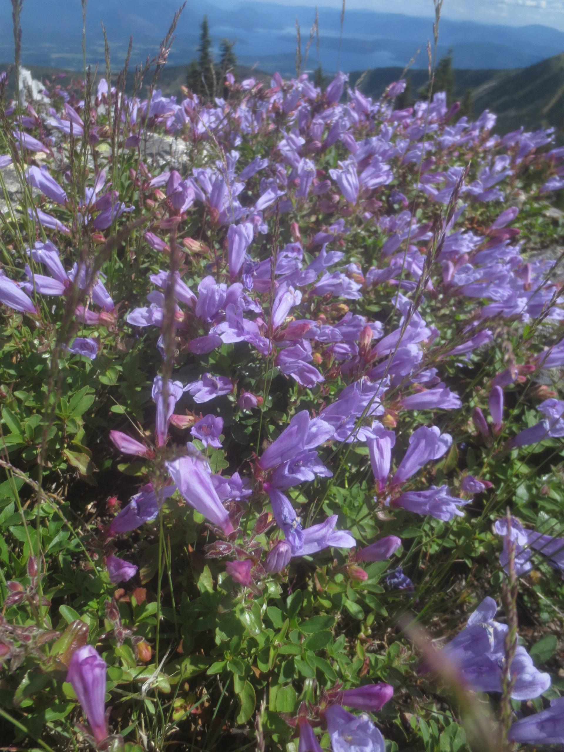 purple wildflowers on a mountain top