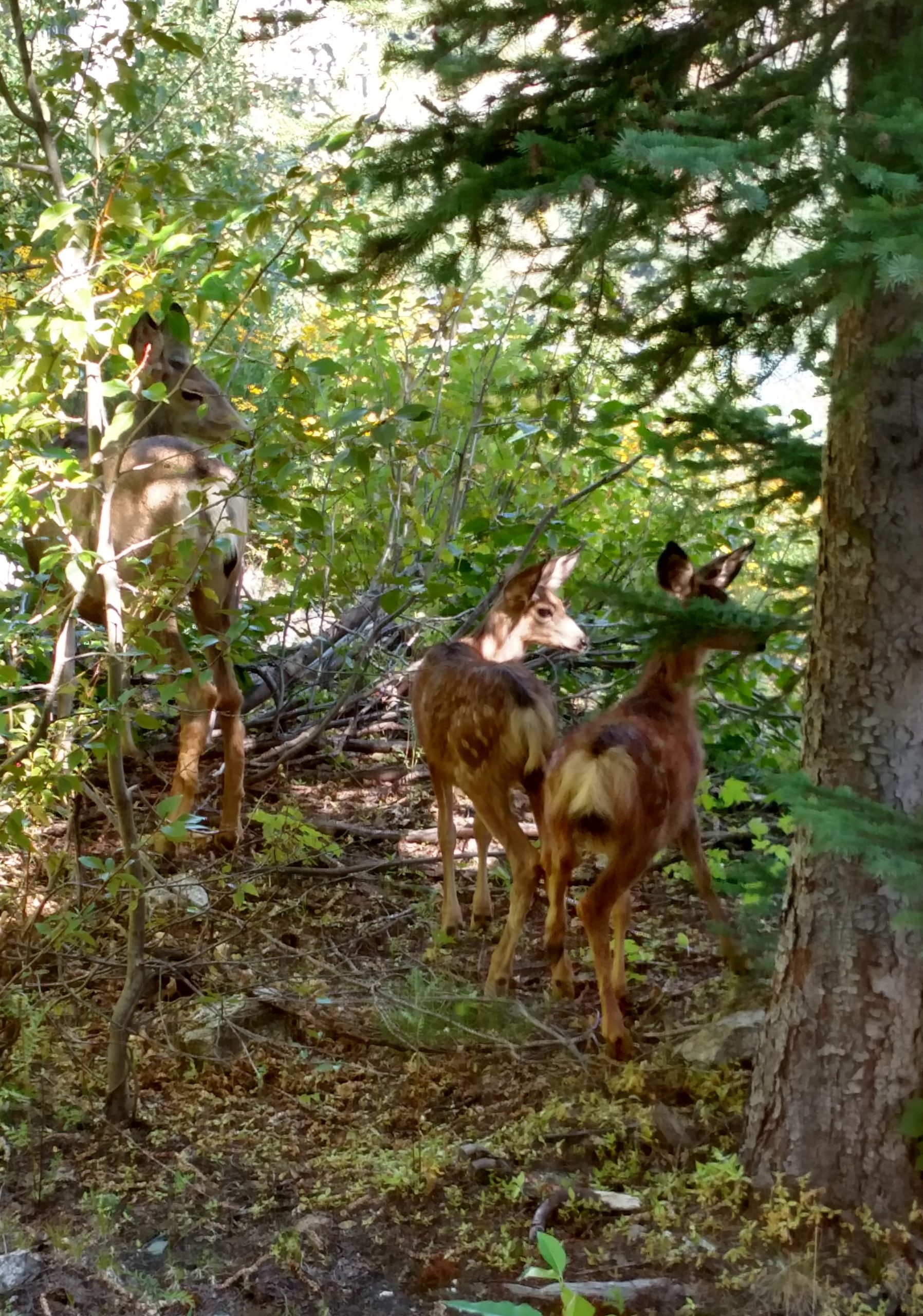 three mule deer in a sun dappled wooded area