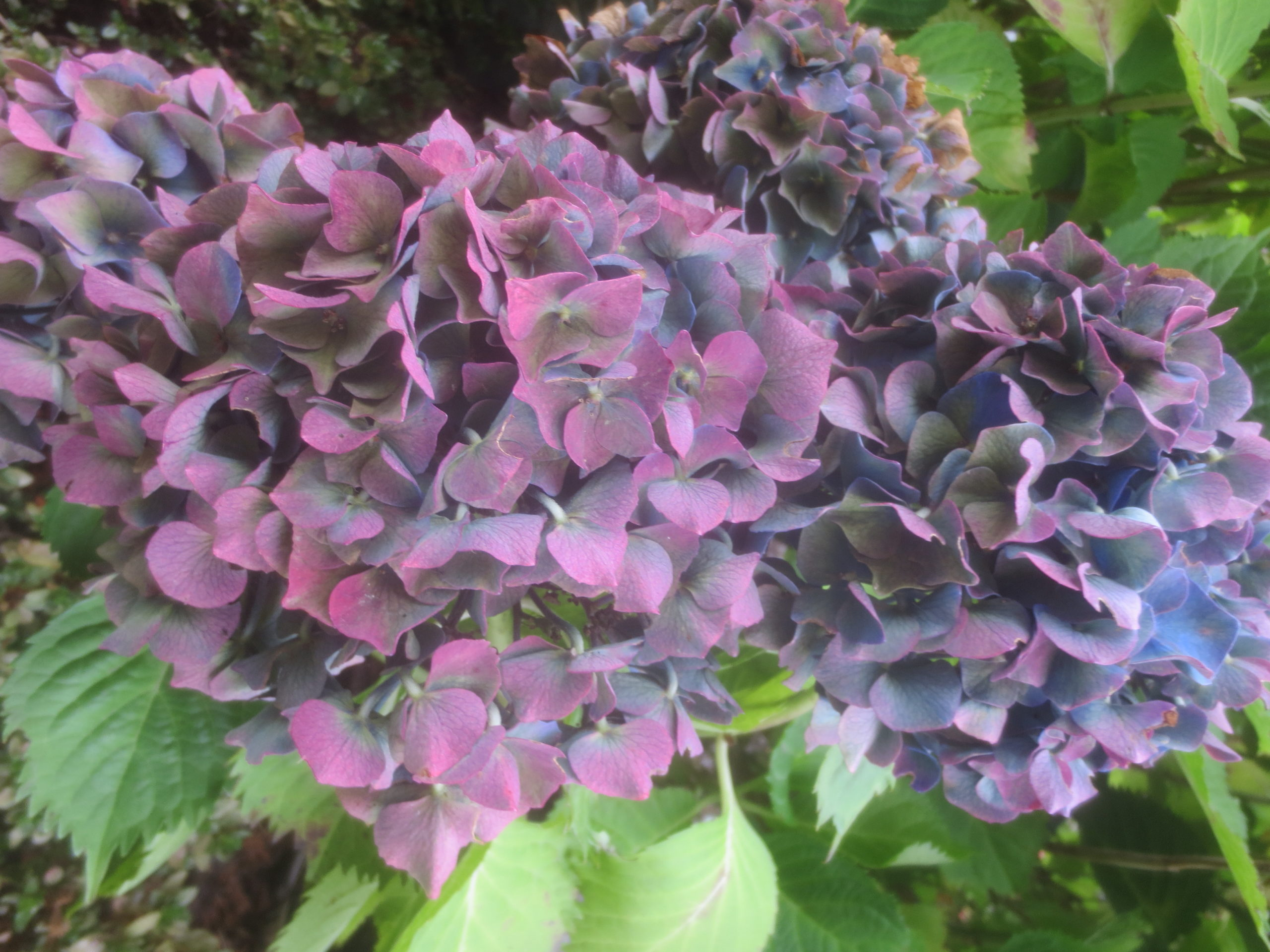 purple and blue violet hydrangea blooms