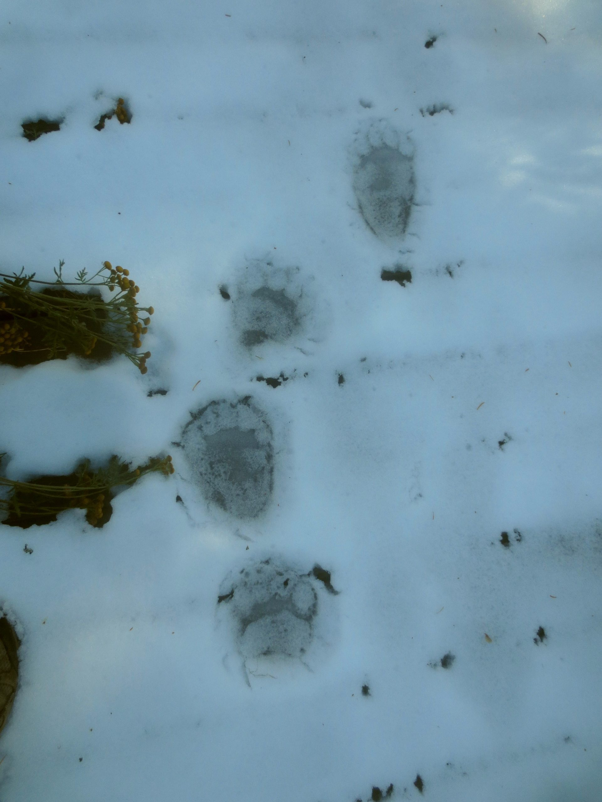 bear tracks in snow