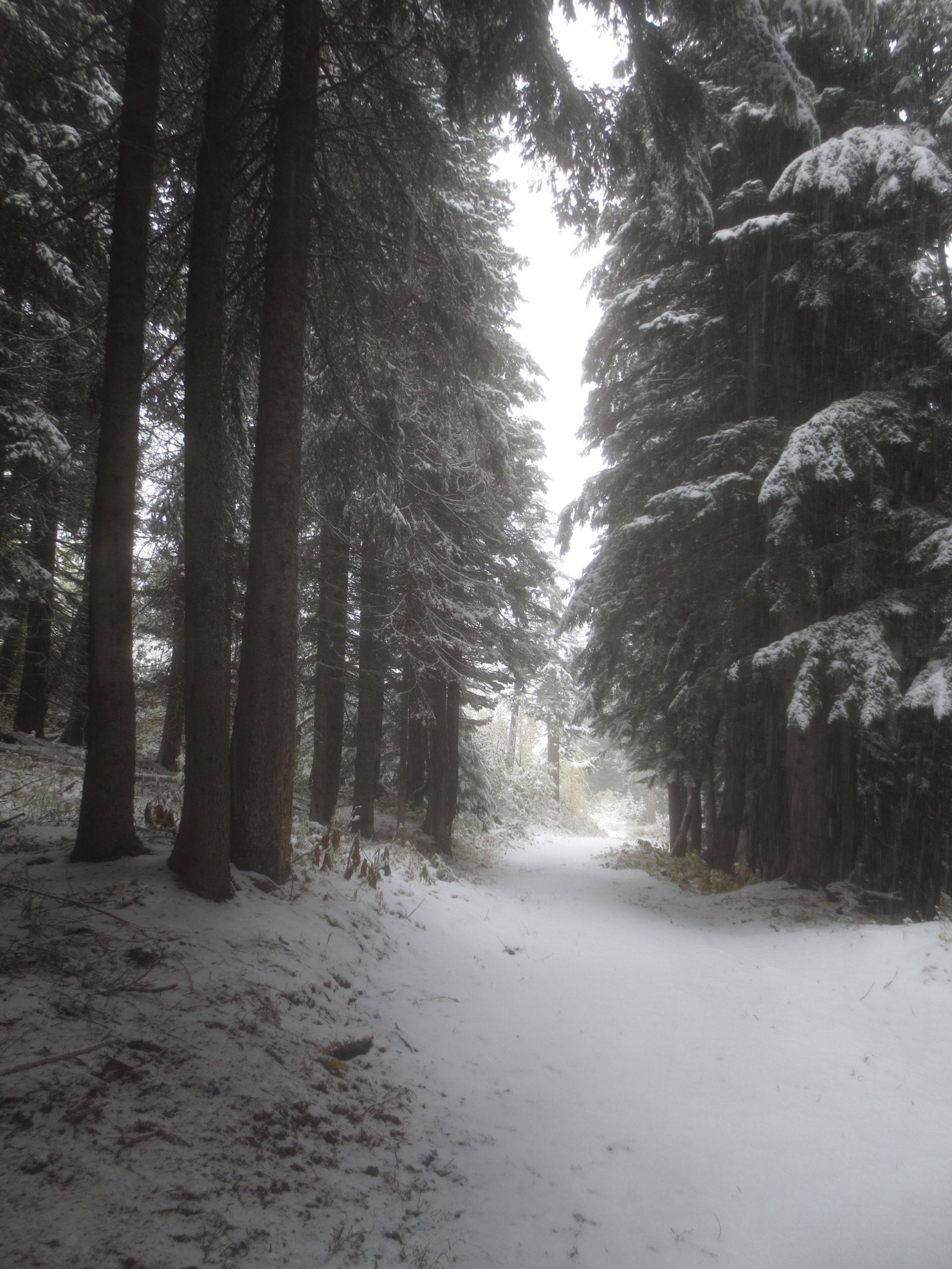 snowy trail through tall pine trees