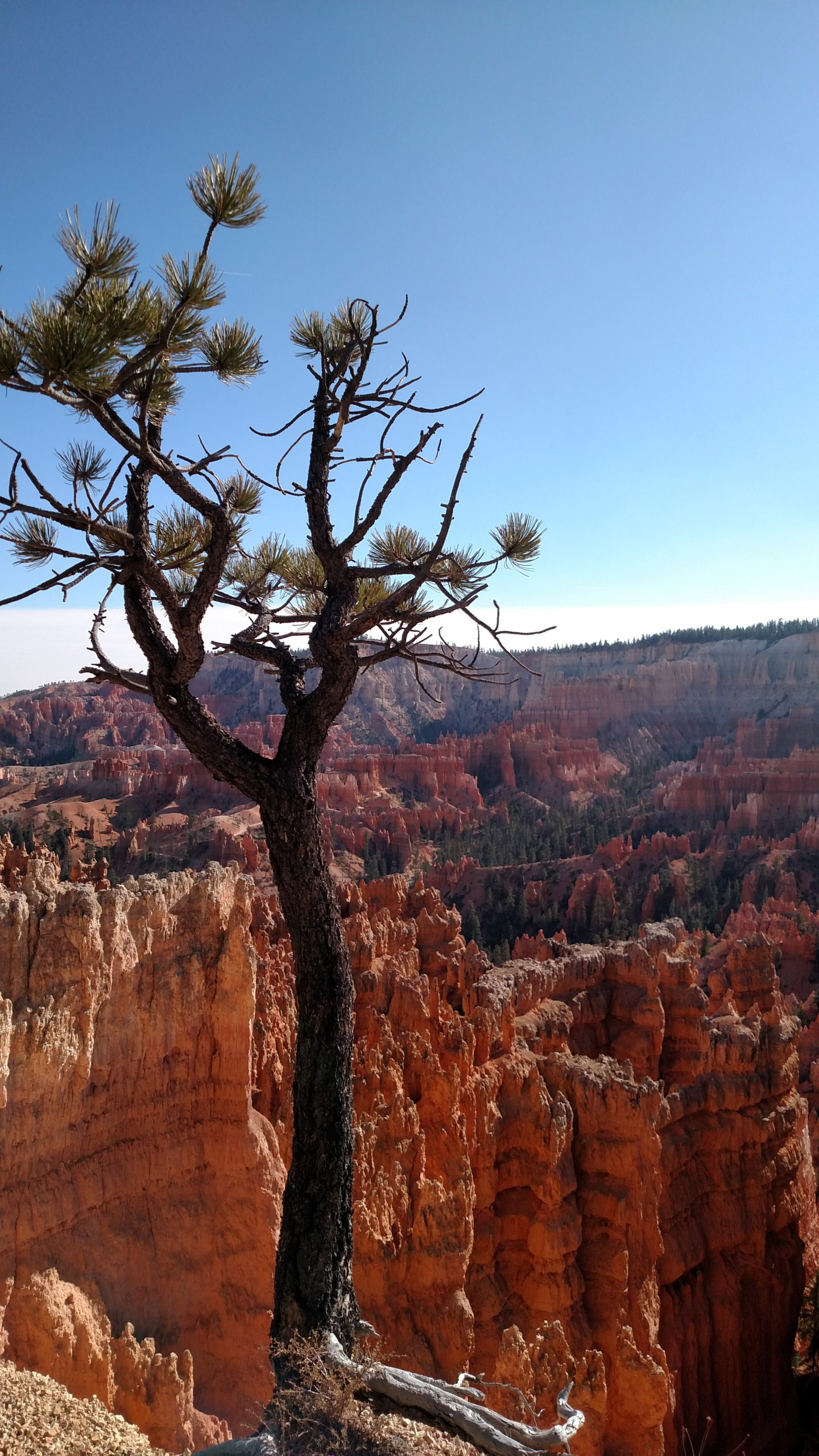Bryce Canyon in Utah with tree in foreground at edge of cliff and orange rock formations in background