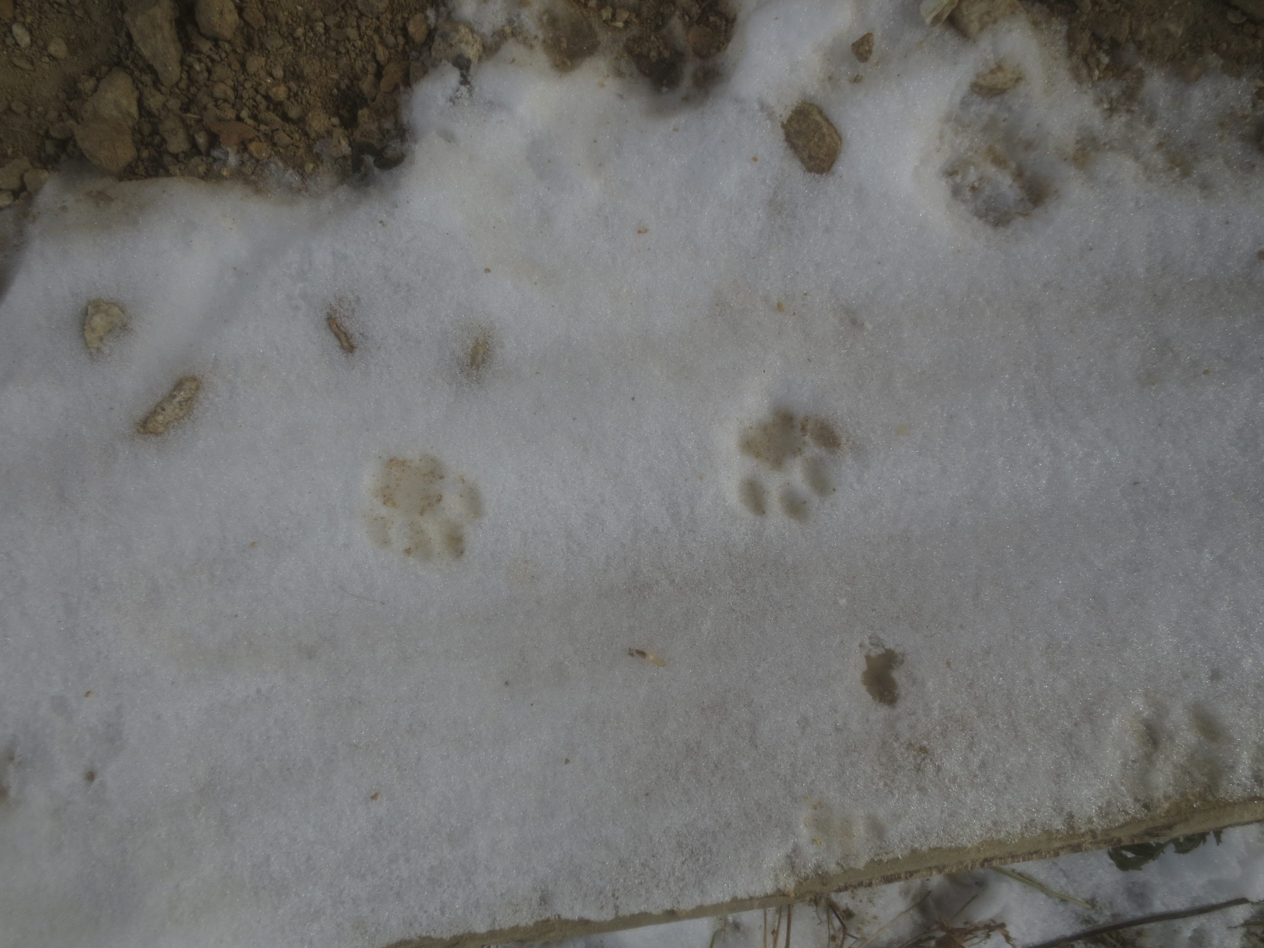 two cat paw prints in snow