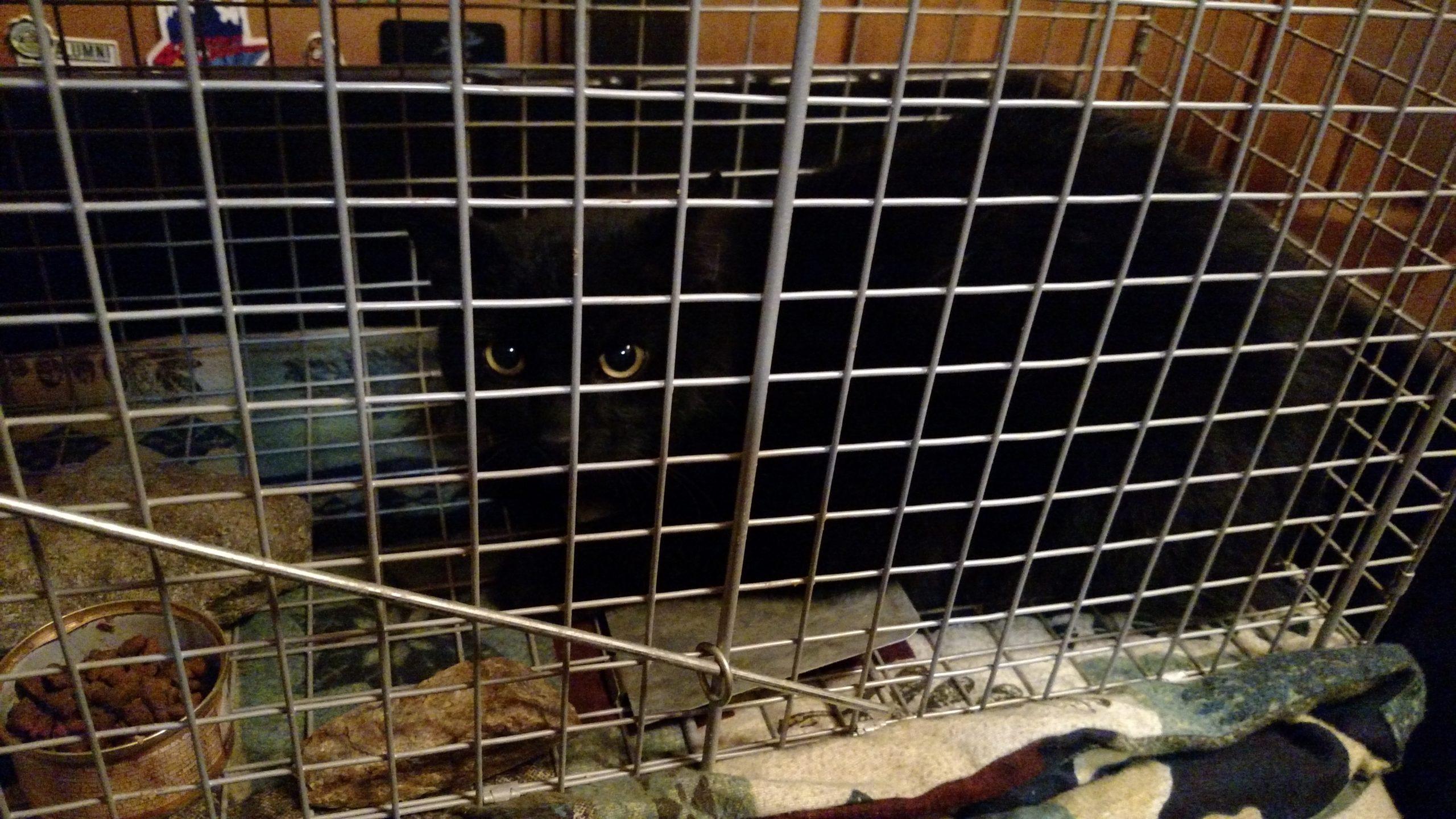 black cat in a humane trap