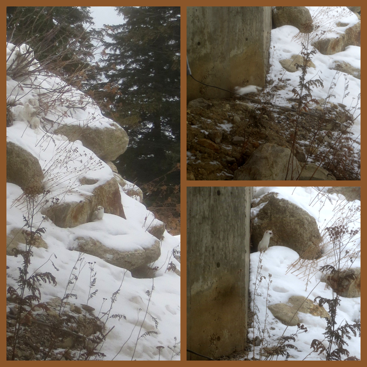 collage of three photos with an ermine near snow-covered rocks